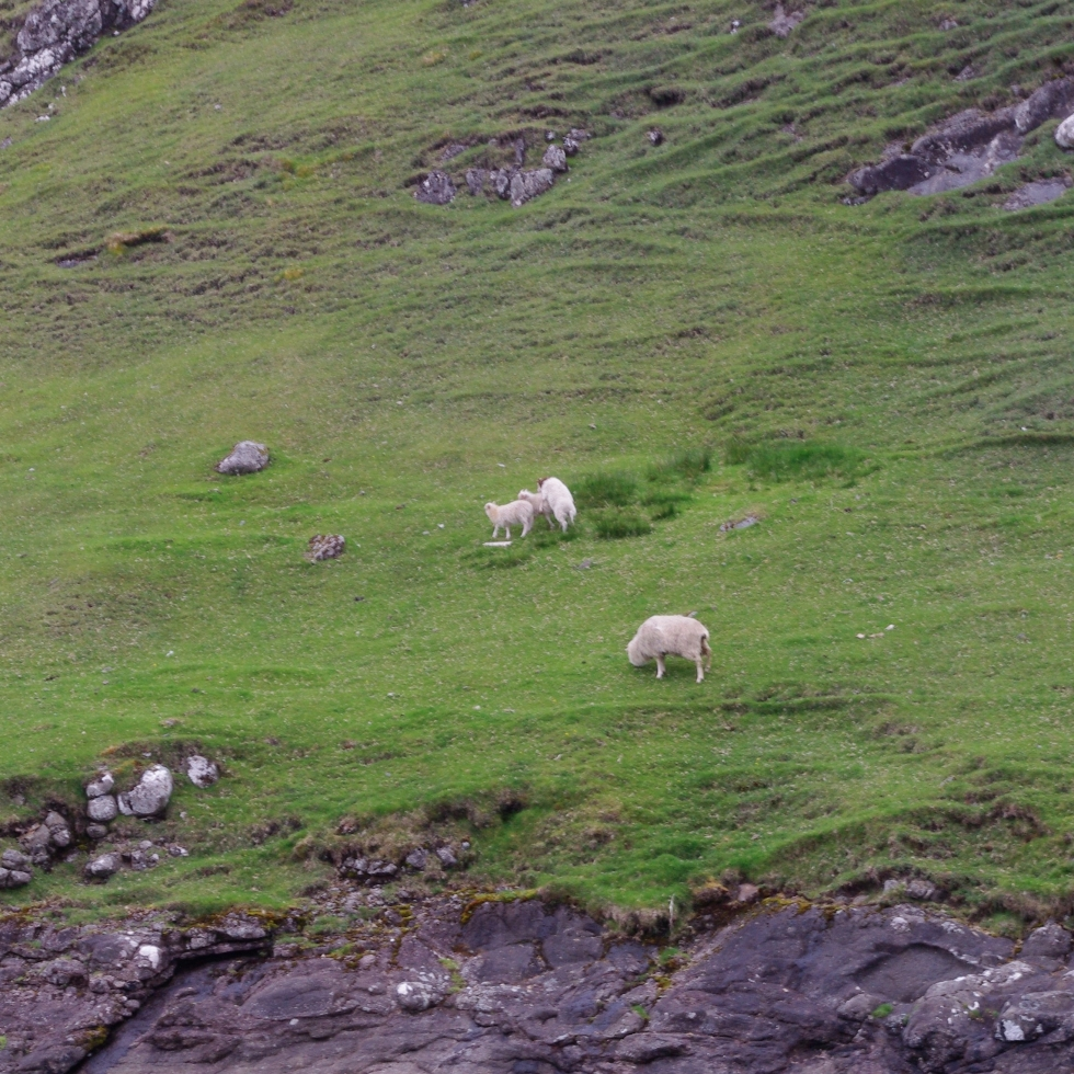 sheep on the hillside